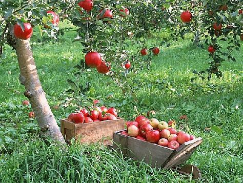 Плодовые деревья - яблони